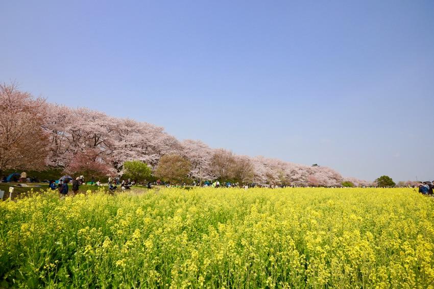 幸手市・権現堂桜堤12